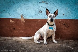 Habana Big ears dog